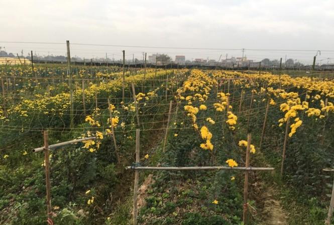Giá hoa rẻ, nhiều người nông dân để hoa héo không thu hoạch. Ảnh: Đ. H