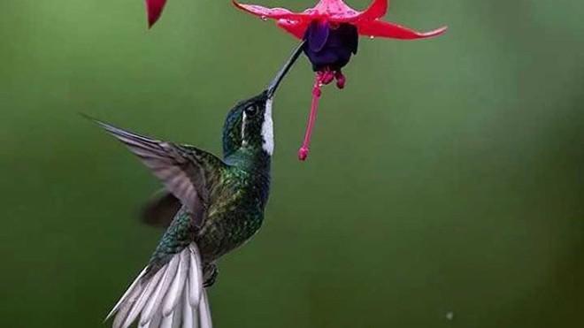Chúng là loài chim duy nhất có thể bay lùi do cánh của chúng có thể hoạt động tự do theo chiều hướng của vai.