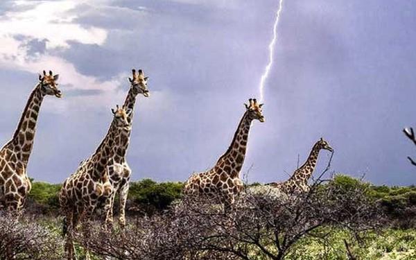 1001 thắc mắc: Liệu hươu cao cổ có bị sét đánh nhiều hơn các loài khác?