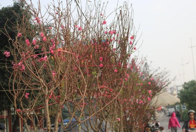 Đào Nhật Tân nở sớm, tràn ngập chợ hoa đón Tết Dương lịch
