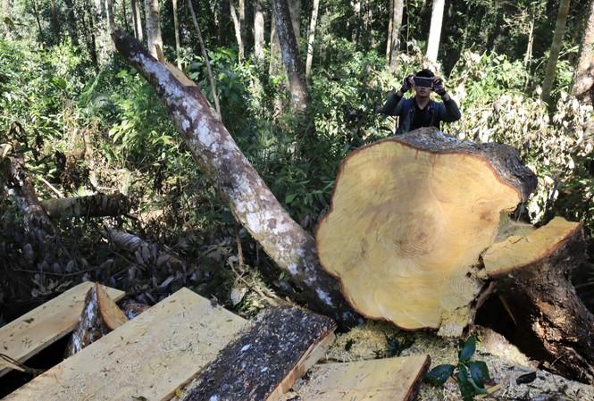 Hàng loạt cây cổ thụ bị 'xẻ thịt'