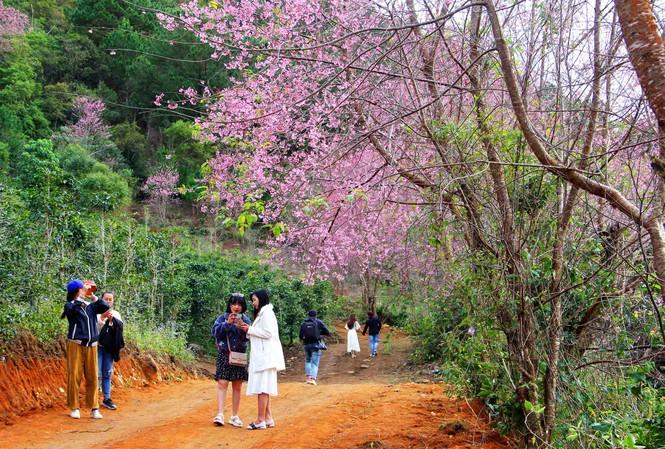 Du khách tham quan rừng mai anh đào trên núi Lang Biang.