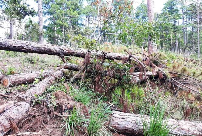 """Rừng thuộc dự án """"Sân golf và khu nghỉ dưỡng Đà Lạt"""" bị tàn phá."""