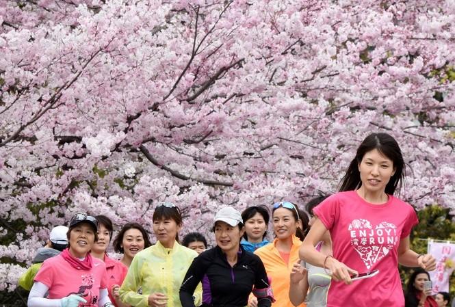 Ngắm vẻ đẹp rực rỡ của hoa anh đào Nhật Bản