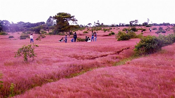 Việc triển khai dự án tổ hợp sân golf Đắk Đoa vẫn giữ lại  được 8 ha đồi cỏ hồng? - Ảnh: Báo Đất Việt