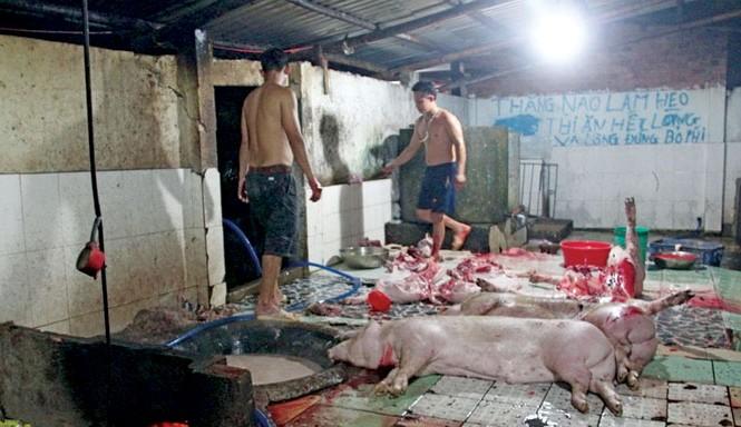 Cả đàn heo tại lò mổ có thể bị tiêu hủy khi phát hiện có chất cấm.