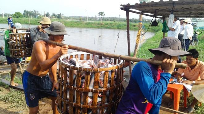 Thương lái Trung Quốc giảm mua cá tra quá lứa, khiến người nuôi đứng ngồi không yên. Ảnh: Bình Phương.