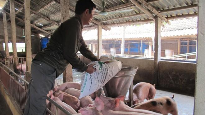 """Sau khi chất cấm Salbutamol bị """"bịt"""", người chăn nuôi đang quay sang sử dụng Cysteamine như """"bảo bối"""" tăng trọng mới. Ảnh: Sao Mai."""