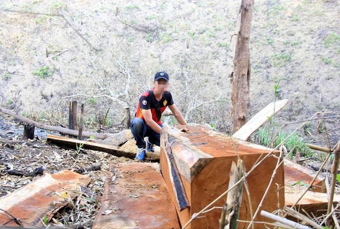 Nhiều lóng gỗ tại cánh rừng thuộc xã Lơ Ku.