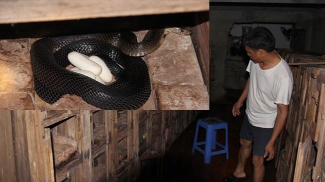 Làng nghề nuôi rắn Tứ Xã đứng trước nguy cơ phá sản vì không tìm được đầu ra cho sản phẩm (ảnh lớn), Rắn nái đẻ trứng (ảnh nhỏ)