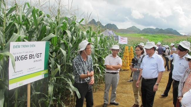 Dù đã đưa vào trồng đại trà một số giống ngô BĐG, nhưng việc quản lý sử dụng sản phẩm ngô BĐG còn lúng túng. Ảnh: Phạm Anh
