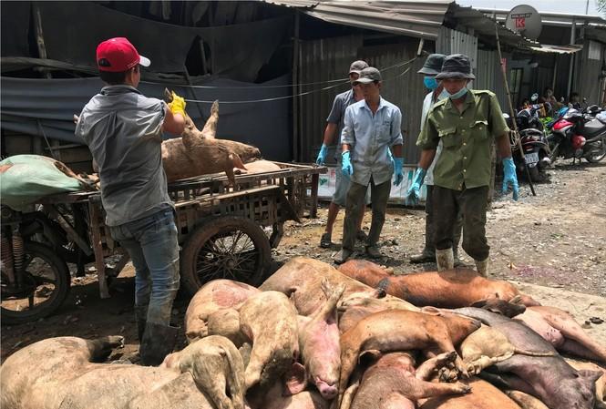 Đến nay, TPHCM đã có hơn 17.000 con lợn bị tiêu hủy do dịch