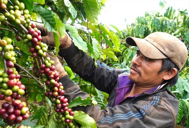 Ông Siu Nhức thu nhập gần 1 triệu đồng/ngày từ hái cà phê thuê