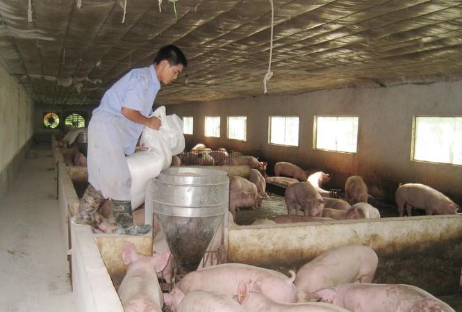 Nhiều địa phương đang đẩy nhanh tái đàn, bổ sung nguồn thịt lợn trong những tháng tới. Ảnh: Bình Phương