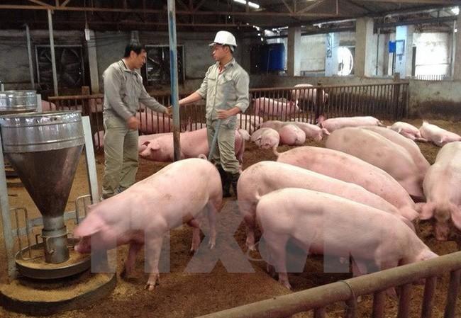 Giá lợn hơi trong nước liên tục giảm trước khi lợn Thái Lan nhập về Việt Nam.