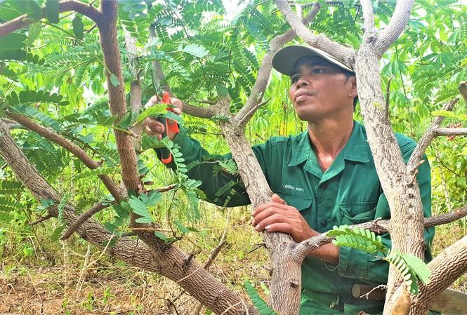 Anh Y Nguyên cắt tỉa vườn me thái