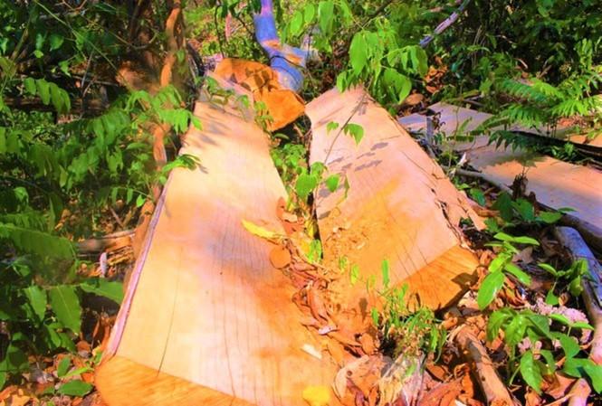 Hiện trường một vụ phá rừng trong Khu bảo tồn thiên nhiên Ea Sô