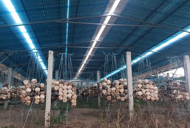 Bên trong dự án trồng nấm kết hợp lắt đặt điện mặt trời
