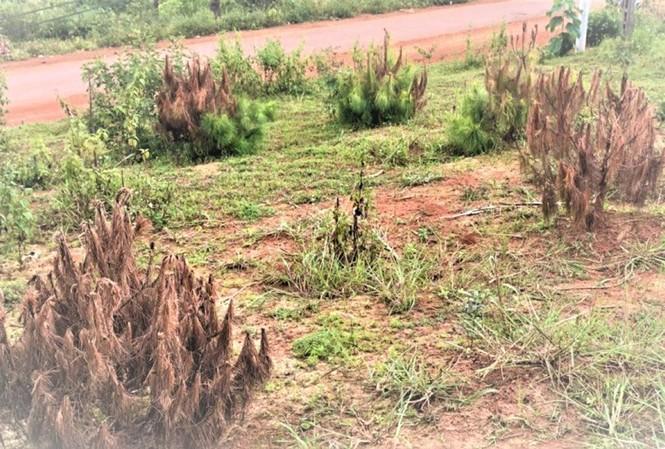 Nhiều cây thông non bị chết bất thường