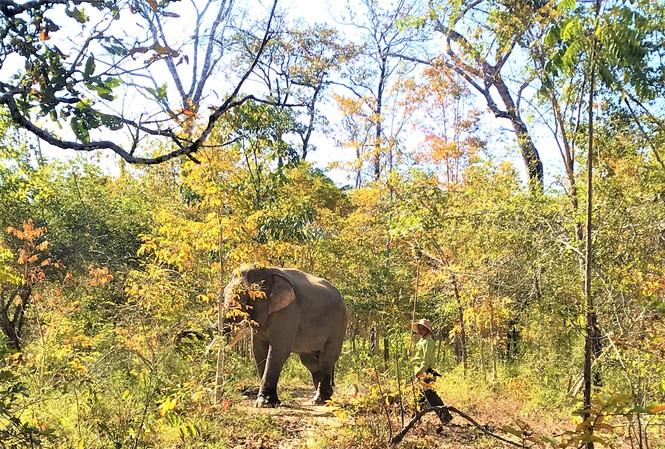 Voi rừng trong Vườn quốc gia Yok Đôn. Ảnh: Đức Phương