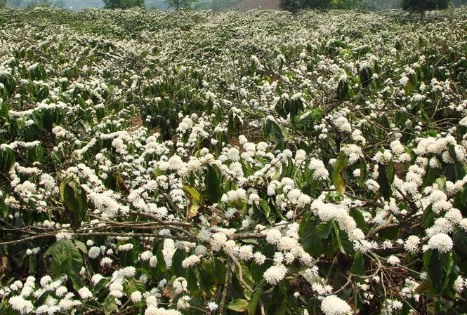 Rẫy hoa cà phê trắng bồng bềnh