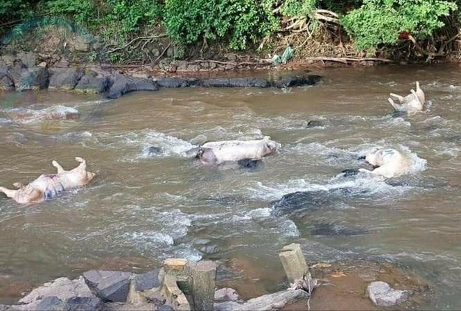 Người dân vứt heo chết ở sông Nhạn
