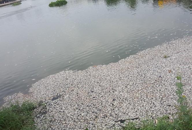 Cá chết nổi trắng hồ