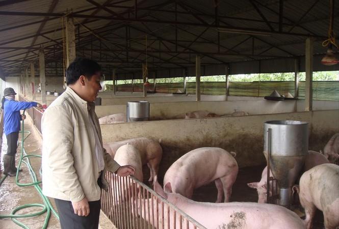 Thị trường lợn hơi và lợn thịt đang trong cơn  khủng hoảng giá, ảnh hưởng đến người tiêu dùng Ảnh: Bình Phương