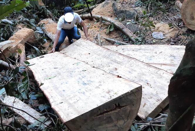 Hiện trường vụ khai thác lâm sản trái phép tại xã Sro', huyện Kông Chro, tỉnh Gia Lai  Ảnh: Lê Tiền