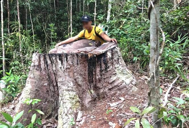 PV Tiền Phong trực tiếp xâm nhập vụ hủy hoại rừng ở Gia Lai