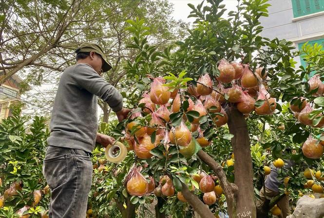 Nhà vườn chăm sóc bưởi Diễn bonsai chờ khách mua. Ảnh: Việt Linh