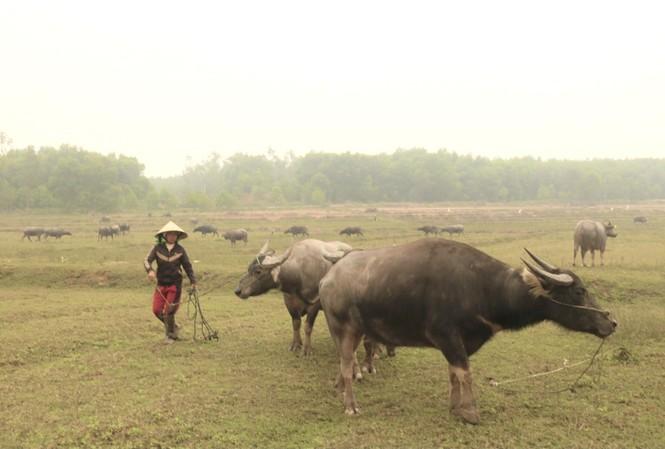 Người dân được thuê vỗ béo trâu, bò ở xã Đại Sơn, huyện Đô Lương (Nghệ An)