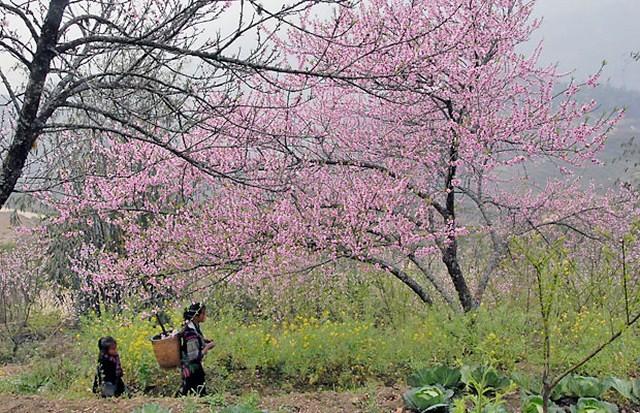 Dân buôn bỏ cuộc, người vùng cao lo mất Tết vì đào rừng khó về xuôi