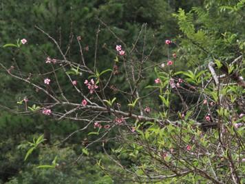 Ngắm hoa đào nở từ tháng 9