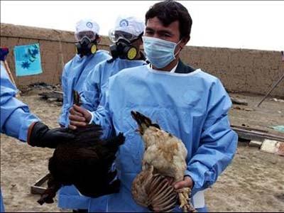Lo virus H5N1 trên gia cầm tiếp tục biến đổi