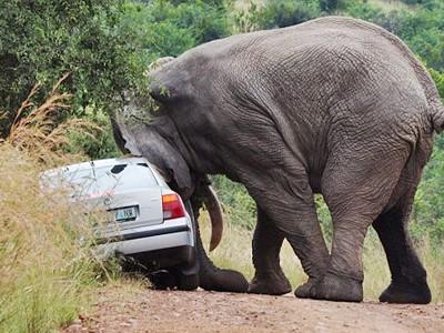 Đi du lịch, bị voi năm tấn húc đổ ôtô
