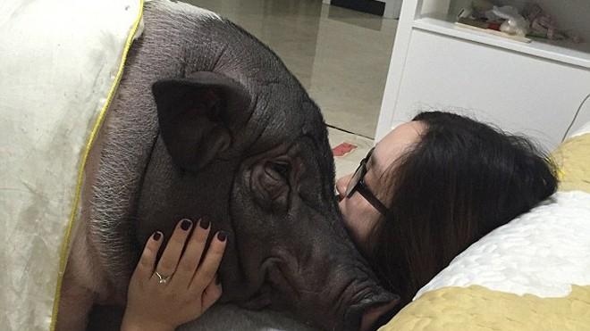 Chồng ghen tỵ vì cô gái suốt ngày ăn ngủ với lợn cưng