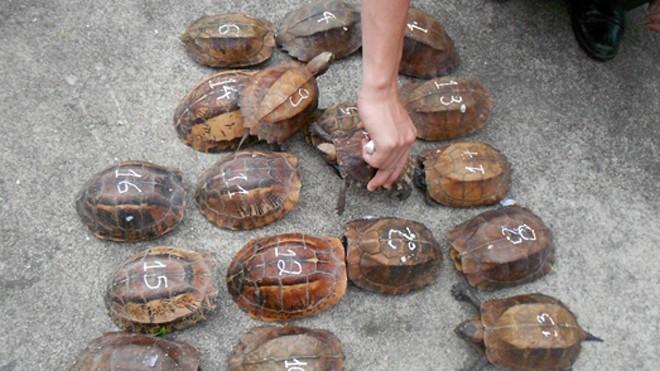 Số cá thể rùa không rõ nguồn gốc xuất xứ.