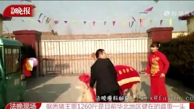 Cô dâu cưỡi lợn khủng vào nhà chồng