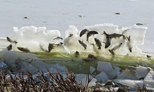 Bức tường cá đóng băng trở thành thức ăn cho các loài chim. Ảnh: Facebook.