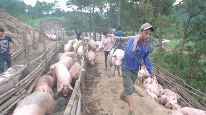 Việc phụ thuộc vào xuất khẩu lợn hơi qua đường tiểu ngạch đi Trung Quốc, gây rủi ro lớn cho ngành chăn nuôi lợn trong nước