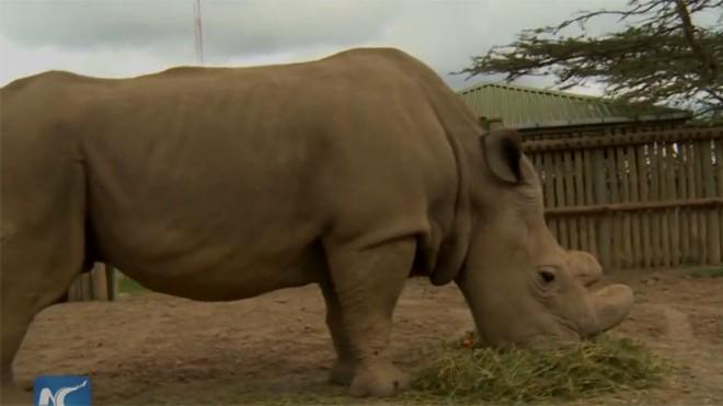 Tê giác trắng cực hiếm tìm bạn tình qua mạng
