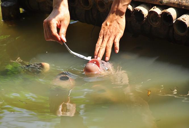 Lạ lùng đàn cá tai tượng suốt 30 năm được đút cơm chay mỗi ngày