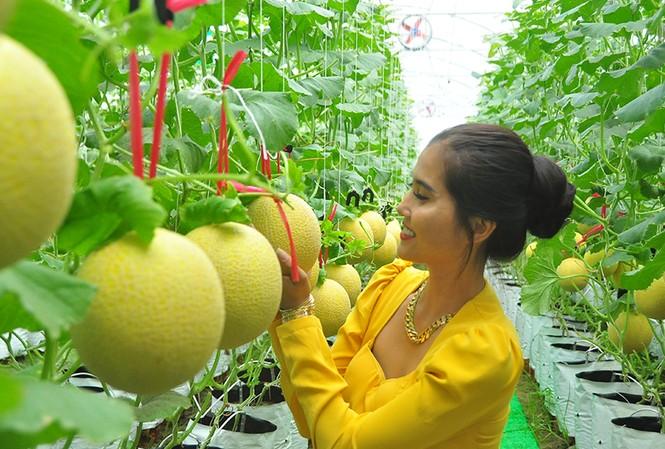 Vườn dưa lưới của chàng thạc sĩ nông nghiệp thu hút đông bạn trẻ check-in dịp Tết