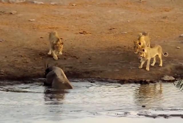 Màn giao chiến siêu kịch tính giữa tê giác với 3 con sư tử