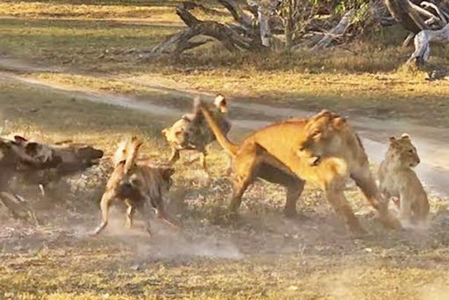 Sư tử cái tử chiến với đàn chó hoang để bảo vệ con