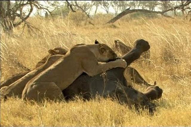 Sư tử đoạt mạng voi rừng.