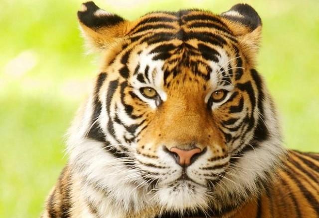 Số lượng hổ ở Ấn Độ tăng vọt trong vòng 5 năm qua