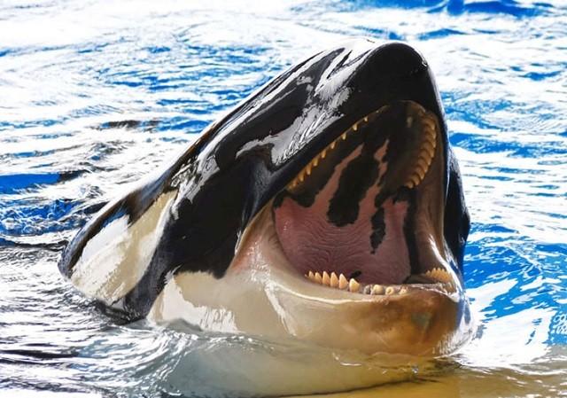 Cá voi sát thủ ngoi lên bờ tóm gọn hải cẩu