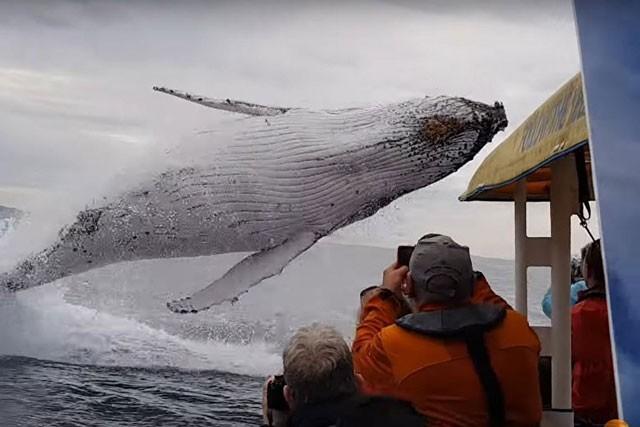Cá voi lưng gù khổng lồ nhảy lên khỏi mặt nước.